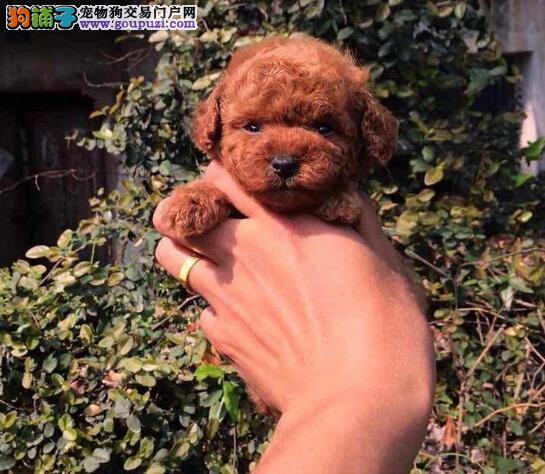 大连养殖场出售一窝三个月的泰迪犬 保证完美售后服务