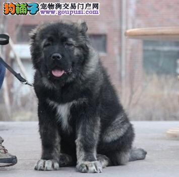 自家繁殖的南京高加索犬找新主人 驱虫齐全 可视频看狗