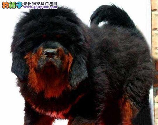 郑州专业狗场特价出售原生态藏獒 可视频看狗购买