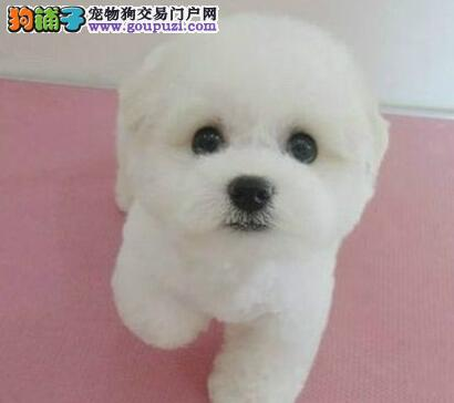 正规实体店热销纯种广州比熊犬品相好质量有保证
