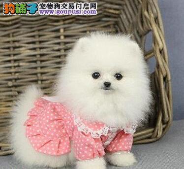小体型纯白色哈多利球型博美犬西宁热销 全国免费送货