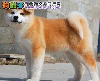 顶级日系秋田犬广州狗场专业繁殖出售 多只购买可优惠
