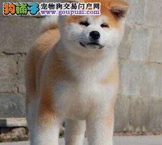 自家繁殖赛级血统厦门秋田犬保证健康带证书