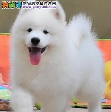 出售西宁调皮好动萨摩耶幼犬 给你爱和温馨的狗狗
