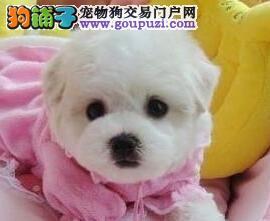 CKU认证犬舍 专业出售极品 比熊幼犬爱狗人士优先