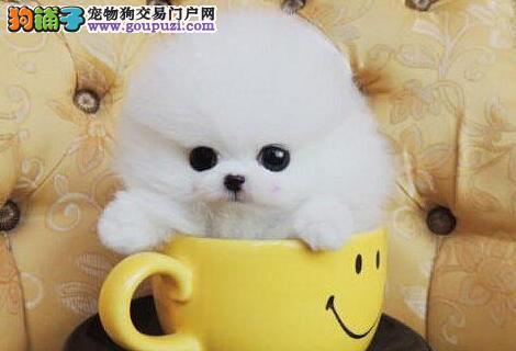 温州CKU认证犬舍直销小巧可爱的博美犬 疫苗驱虫已做