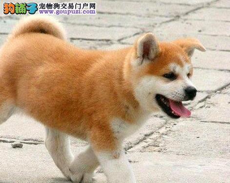 出售自家繁殖的太原秋田犬 选择我们请您放心选购