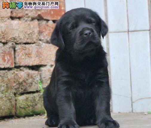 广州实体狗场直销出售骨骼强壮的拉布拉多犬 非诚勿扰