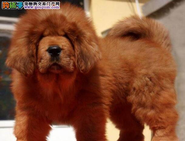 王者气质高大威猛狮头 虎头 铁包金 藏獒幼犬出售
