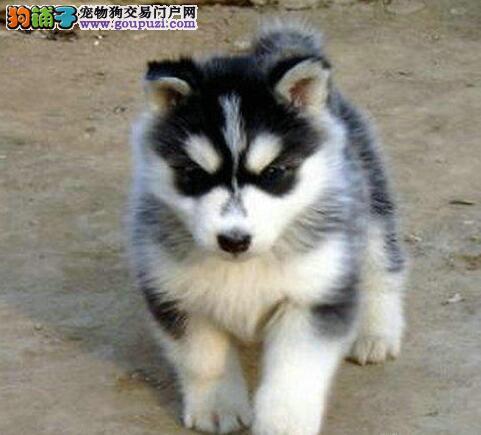 出售温州自家繁殖的哈士奇幼犬 签订正规的售后协议