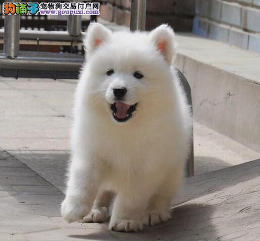 南京出售]南京 出售双眼皮 微笑天使 萨摩耶幼犬