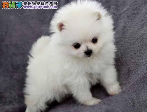 高质量哈多利版郑州博美犬出售 支持全国空运售后好