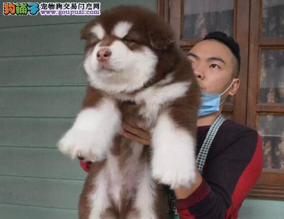 低价出售大骨量巨型贵阳阿拉斯加幼犬 签终身售后合同