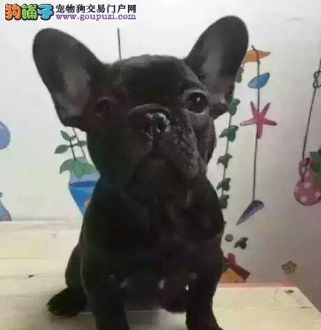 CKU犬舍认证曲靖出售纯种法国斗牛犬微信看狗可见父母