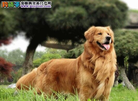 贵阳狗场出售纯种金毛犬 质量绝对最好上门全部优惠价