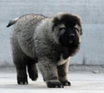 欢迎来吐鲁番犬舍上门挑选纯种高加索犬 多只可选保品质