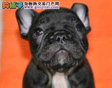 直销价格出售优质斗牛犬 深圳地区有实体店购买有优惠