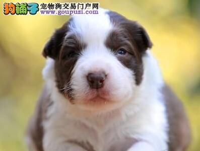 健康优秀纯种白金汉宫血系深圳边境牧羊犬犬舍热销