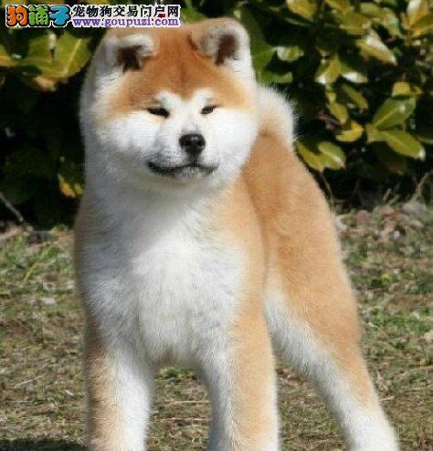 促销出售纯种健康日系秋田犬 血统纯深圳地区可免邮费