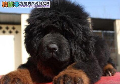 优惠价格出售纯种原生态藏獒 巫溪附近地区可送狗