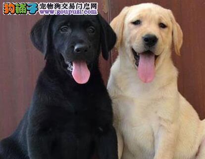 自家狗场直销价格出售聪明南宁拉布拉多犬 颜色多样