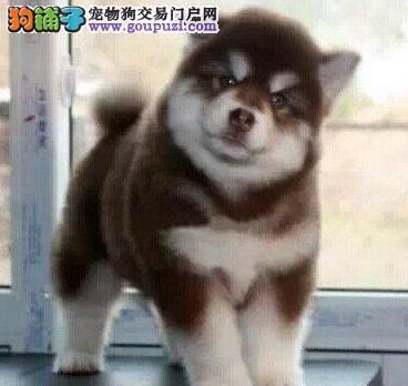 健康深圳阿拉斯加雪橇犬出售中 有防疫证明购买有优惠