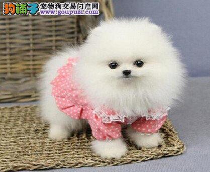 出售多种颜色纯种博美犬幼犬喜欢它的快来