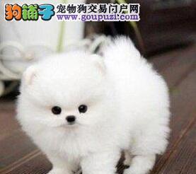 本地养殖场出售优秀哈多利版博美犬 上海周边可送狗