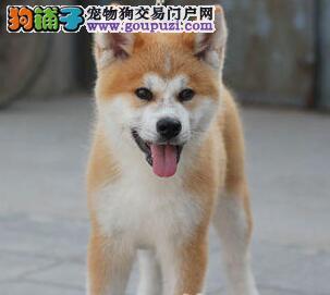 出售健康纯种忠犬八公 秋田犬 一个月退换