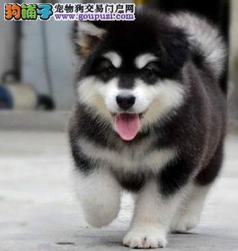 深圳繁殖基地低价出售英俊帅气的阿拉斯加犬 速来选购