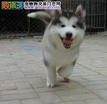 兰州狗场特价出售阿拉斯加犬 期待各位宠友与我们联系