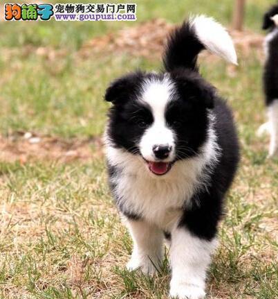 长沙狗场直销高智商纯种边牧幼犬 包健康签协议送用品