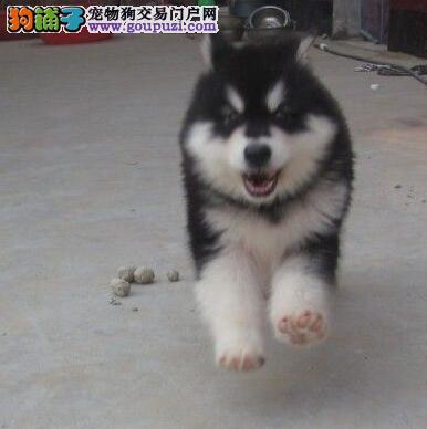东莞犬舍出售十字脸品相的阿拉斯加犬 购犬签订协议