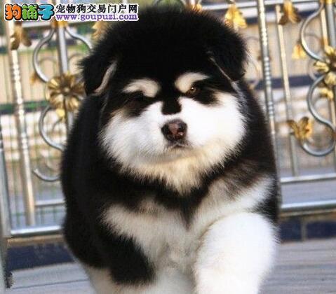 南京自家狗场繁殖纯血统的阿拉斯加犬 签订正规协议书