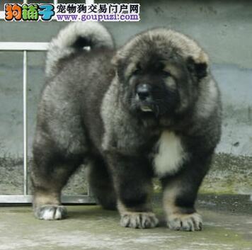 极品大骨架上海高加索犬低价促销 俄系熊版会看家