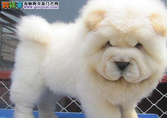 大头肉嘴松狮幼犬出售毛毛绒多只挑择品质保证