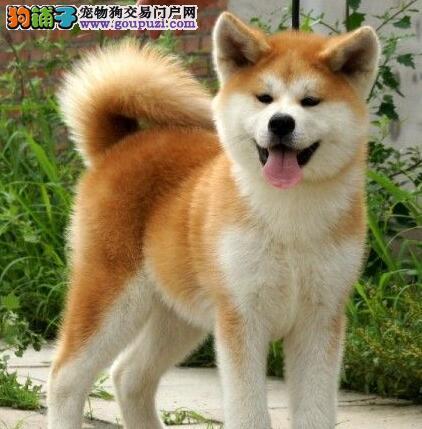 包头正规基地繁殖出售日系血统的秋田犬 包纯种包退换