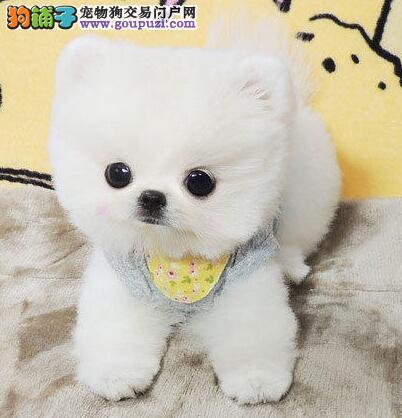 博美犬武汉CKU认证犬舍自繁自销可直接微信视频挑选