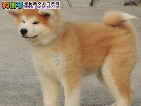 自家繁殖的日系秋田犬火爆热销中 青岛地区送货上门选