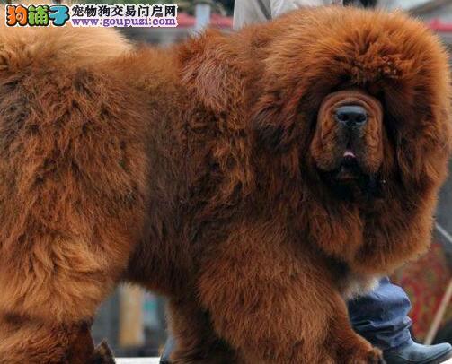藏獒血统纯正,品相佳,大狮头,大骨量大长毛