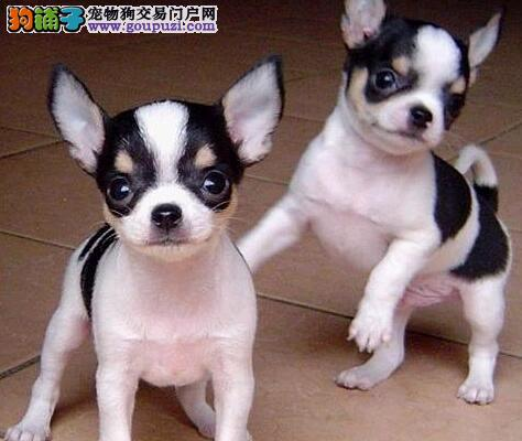 南通正规狗场繁殖出售超小体吉娃娃幼犬 狗贩子勿扰