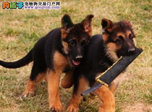 顶级优秀锤系德国牧羊犬出售中 北京附近可免费送狗