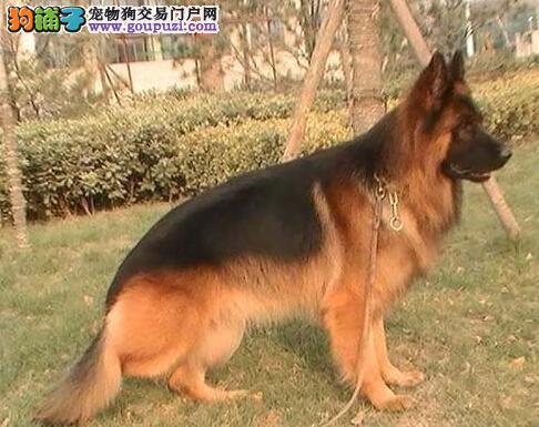 高品质德国牧羊犬转让,CKU认证犬舍,质保全国送货