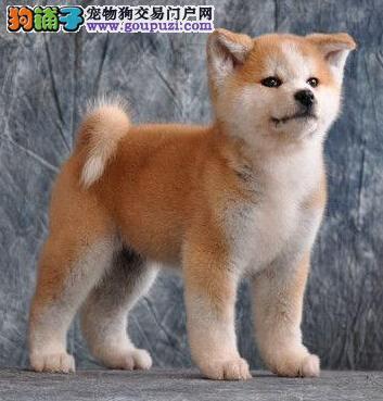 低调帅气 善良忠诚的秋田犬长春出售 你值得拥有的狗狗