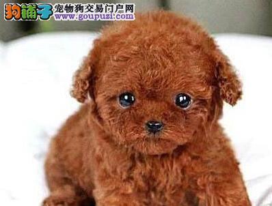 茶杯玩具血系的保定泰迪犬找爸爸妈妈 多只幼犬任选购