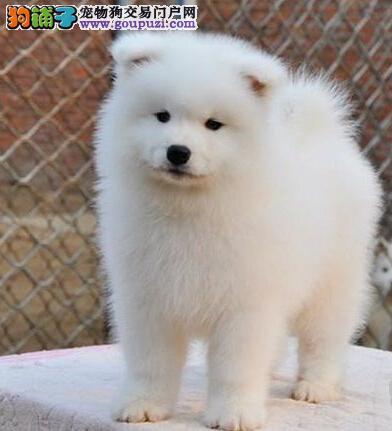 纯种萨摩耶幼犬、CKU认证犬舍、提供养护指导