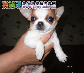 深圳大型犬舍出售纯种苹果头吉娃娃 血统纯可签订协议
