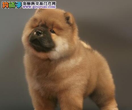 赛级品质大嘴紫舌深圳松狮犬热卖中 有问题可退换