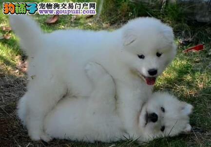 高品质健康微笑天使上海萨摩耶犬舍热卖 可赠送狗笼子