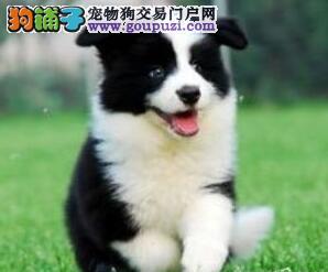 专业正规犬舍热卖优秀天津边境牧羊犬带血统证书签活体协议